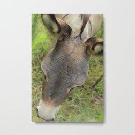 Donkey Forehead Metal Print