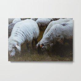 Flock of sheep close up, mountain village sheep. Metal Print