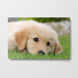 Golden Retriever puppy, cute dog Metal Print