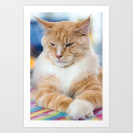 Red-white tabby Maine Coon cat Art Print
