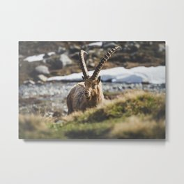 Ibex in the cold Metal Print