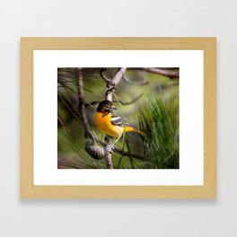 Oriole and Pine cone Framed Art Print