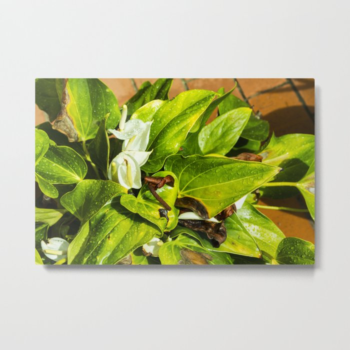 White Anthurium Flower Metal Print