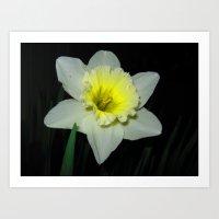 Nocturnal Daffodil Art Print