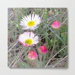 Watercolor Flower, Fleabane 05, RMNP, Colorado, Pink Buds to White Blooms Metal Print
