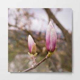 Magnolia Buds Metal Print
