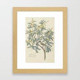 Robert Jacob Gordon - Acacia karroo Hayne or Vachellia karroo - 1777-1786 Framed Art Print
