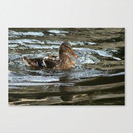 Mallard Duck Swimming Canvas Print