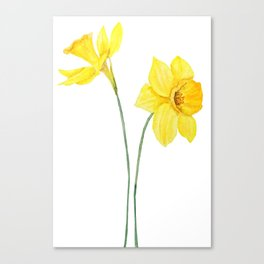 two botanical yellow daffodils watercolor Canvas Print