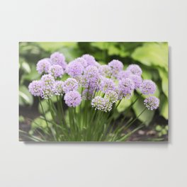 Allium - Onion Flowers 8 Metal Print