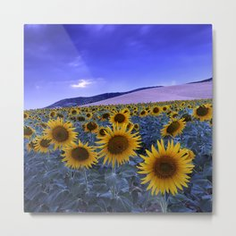 Sunflowers At Blue Hour . Square Metal Print
