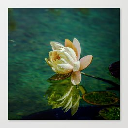 Water Lily after rain Canvas Print