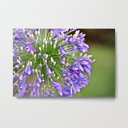 Agapanthus (African Lily) Metal Print
