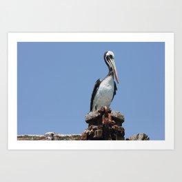 Peruvian pelican (Pelecanus thagus) Art Print