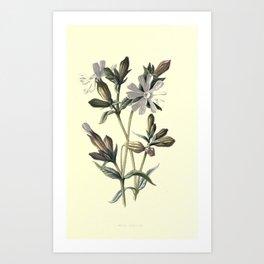 White Campion Art Print