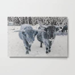 Scotish Highland cattle Metal Print