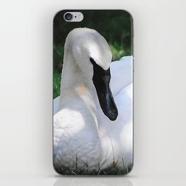 Trumpeter Swan at Rest iPhone Skin