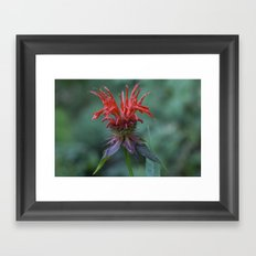 Scarlet Bee Balm {Monarda didyma L.} Framed Art Print