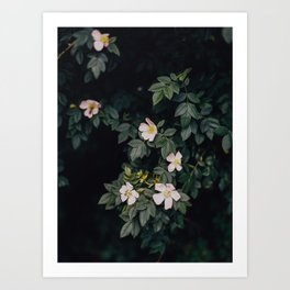 Moody white wild roses Art Print