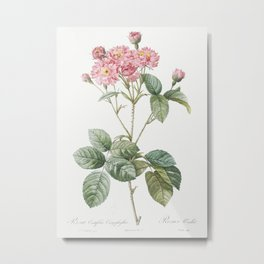 Carnation Petalled Variety of Cabbage Rose also known as Rose bush (Rosa Centifolia Caryophyllea) fr Metal Print