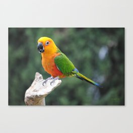 Jenday Conure parrot Canvas Print