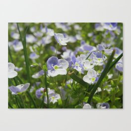Speedwell Canvas Print