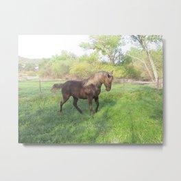 chocolate Rocky Mountain Horses Metal Print