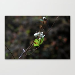White Berries Canvas Print