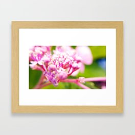 hortensie traum in pink Framed Art Print