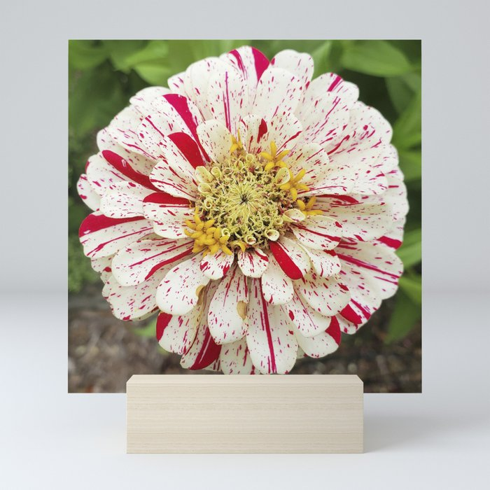 Candy Cane Zinnia Mini Art Print