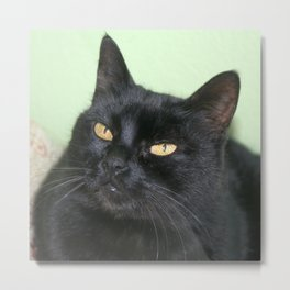 Relaxed Black Cat Portrait  Metal Print