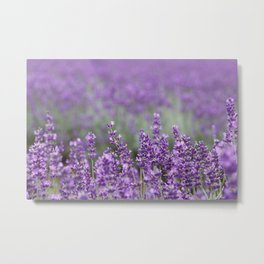 Purple Lavender Flowers Metal Print