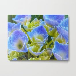 Blue and Yellow Hydrangea Metal Print