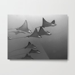 Eagles rays, smiling and gliding Metal Print