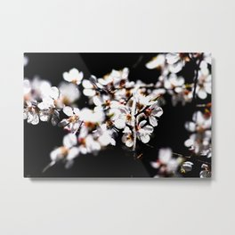 Mix Of Sunlit Japanese Apricot Flowers Against The Black Background Metal Print