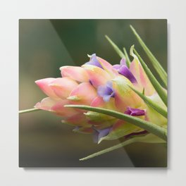 An airplant from Brazil, Tillandsia stricta AB5607 Metal Print