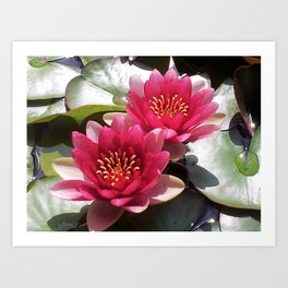 Pink Water Lily Duo Art Print