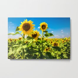 Three's Company - Trio of Sunflowers in Kansas Metal Print