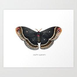 Calleta Silkmoth  (Eupackardia calleta) Art Print