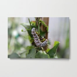 Zebra Longwing Butterfly Larvae-horizontal Metal Print