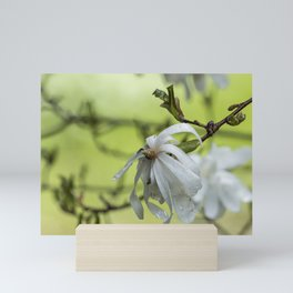 Star Magnolia Soaked Mini Art Print