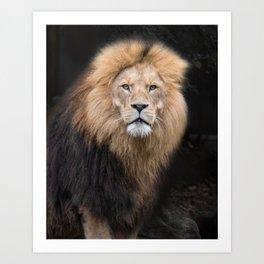 Closeup Portrait of a Male Lion Art Print