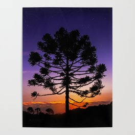 Araucaria under Orion Poster