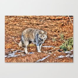 Arctic Wolf and Pine Tundra Canvas Print