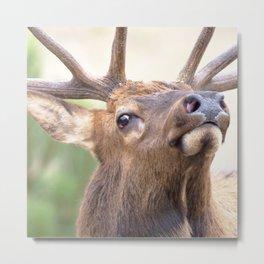 Watercolor Elk Bull 16, Estes Park, Colorado, On the Ent Metal Print