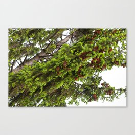 Large spruce fresh shoots Canvas Print