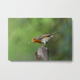Robin In Action Trying To Catch His Food Metal Print