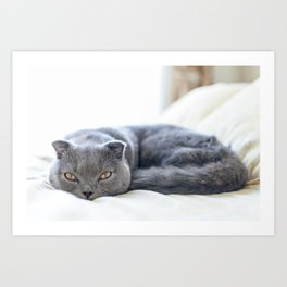 Beautiful Scottish Fold cat curled up on bed Art Print