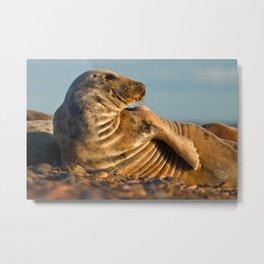 Grey seal (Halichoerus grypus) Metal Print