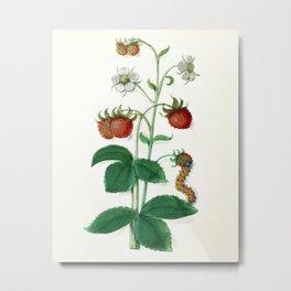Strawberry plant botanical Metal Print